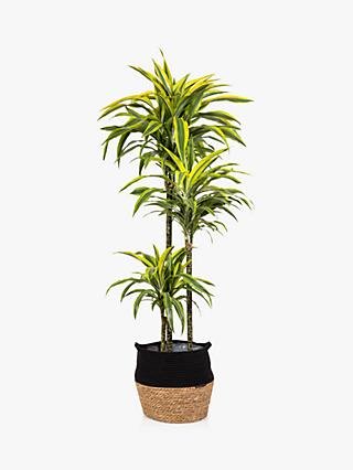 The Little Botanical Extra Large Lemon & Lime Dracaena Plant & Basket