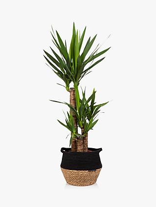 The Little Botanical Extra Large Yucca Plant & Basket