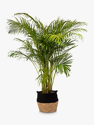 The Little Botanical Extra Large Areca Palm Plant & Basket