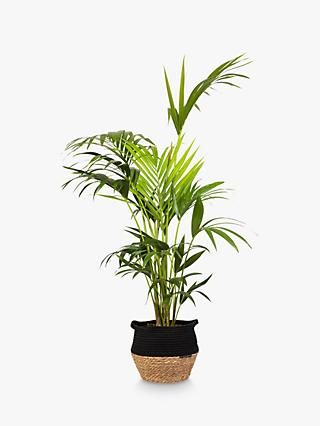 The Little Botanical Large Palm Plant & Basket