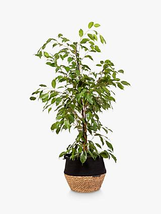 The Little Botanical Large Ficus Benjamina Plant & Basket