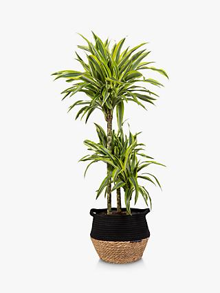 The Little Botanical Lemon & Lime Dracaena Plant & Basket