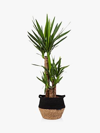 The Little Botanical Large Yucca Plant & Basket