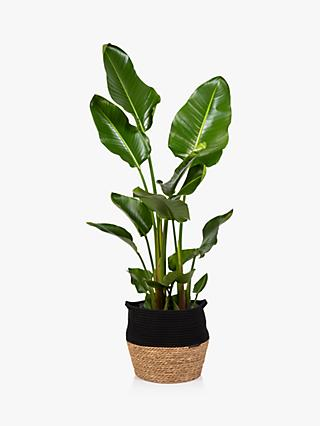 The Little Botanical Extra Large Strelitzia Plant & Basket