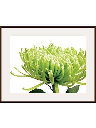 Jenny Kraft - Green Chrysanthemum