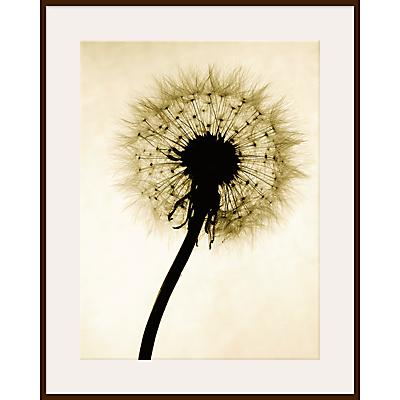 Jenny Kraft – Backlit Dandelion
