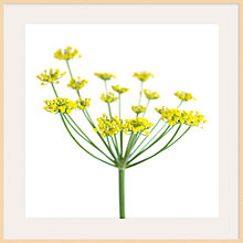 Buy Deborah Schenck - Fennel Online at johnlewis.com