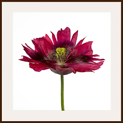 Deborah Schenck – Varied Tulip