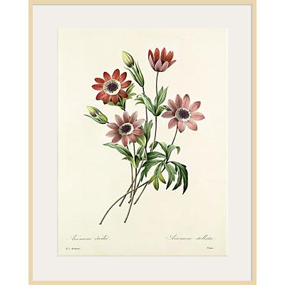 Royal Horticultural Society, Pierre Joseph Celestin Redouté – Anémone étoilée