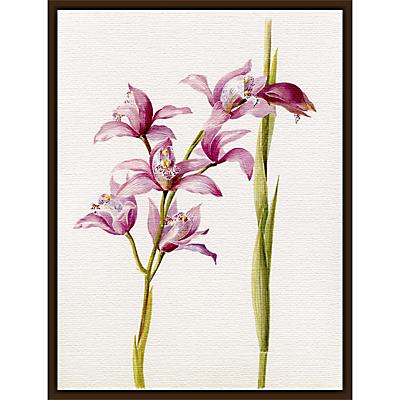 Royal Horticultural Society, Lillian Snelling – Cymbidium Alexanderi gx