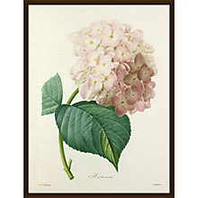 Buy Royal Horticultural Society, Pierre Joseph Celestin Redouté - Hortensia Online at johnlewis.com