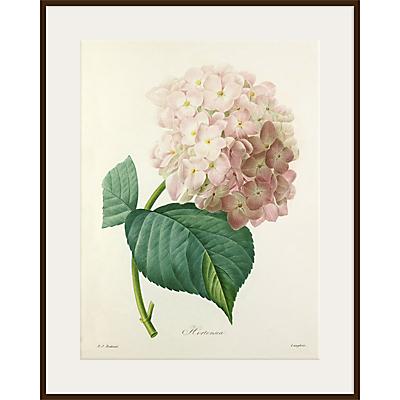 Royal Horticultural Society, Pierre Joseph Celestin Redouté – Hortensia