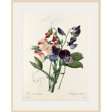 Buy Royal Horticultural Society, Pierre Joseph Celestin Redouté - Plate 113 Online at johnlewis.com