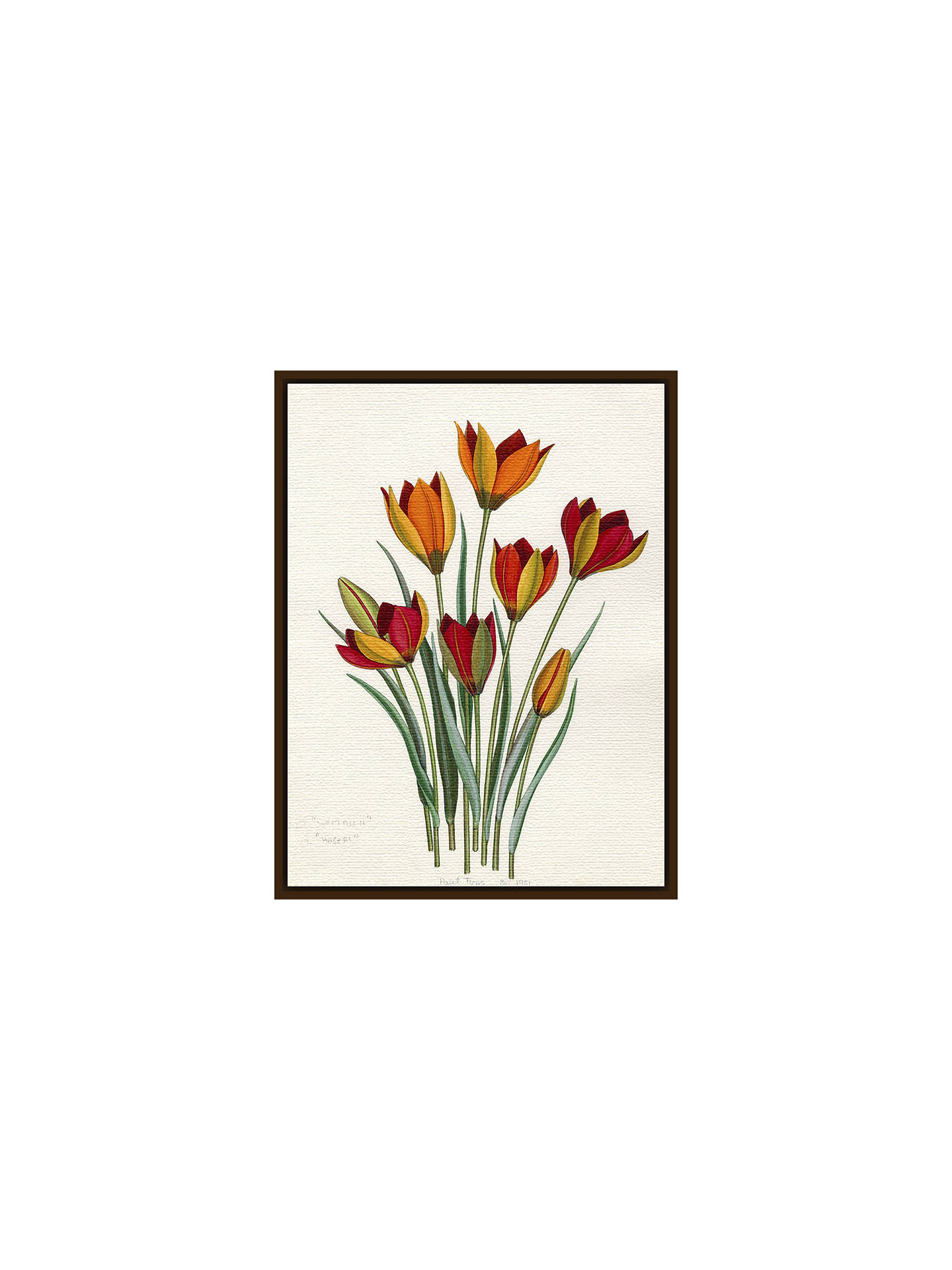 BuyRoyal Horticultural Society, John Paul Wellington Furse - T. whittallii, T. hageri, Dark Brown Framed Canvas, 40 x 50cm Online at johnlewis.com