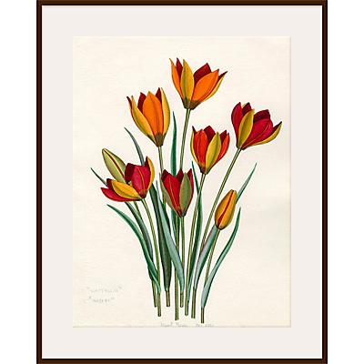 Royal Horticultural Society, John Paul Wellington Furse – T. whittallii, T. hageri