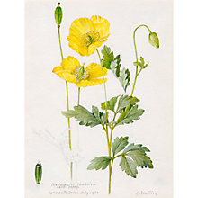 Buy Royal Horticultural Society, Lillian Snelling - Meconopsis cambrica (Welsh Poppy) Online at johnlewis.com
