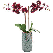 Buy Peony Artificial Orchid in Pot Online at johnlewis.com