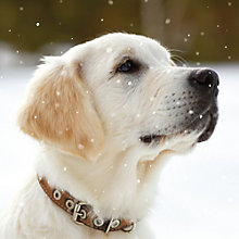 Buy Ling Designs Labrador Puppy Christmas Card Online at johnlewis.com