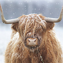 Buy Ling Designs Highland Cow In Winter Christmas Card Online at johnlewis.com
