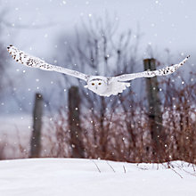 Buy Ling Designs Snowy Owl Christmas Card Online at johnlewis.com