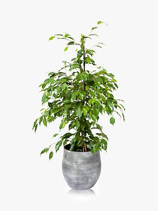 The Little Botanical Large Ficus Benjamina Ceramic Pot Plant