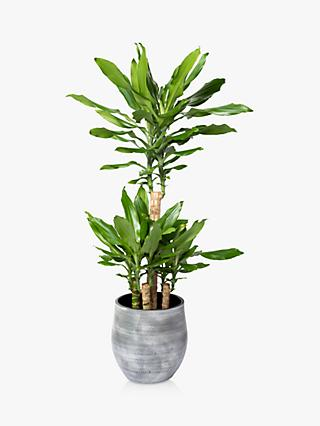 The Little Botanical Large Dracaena Ceramic Pot Plant