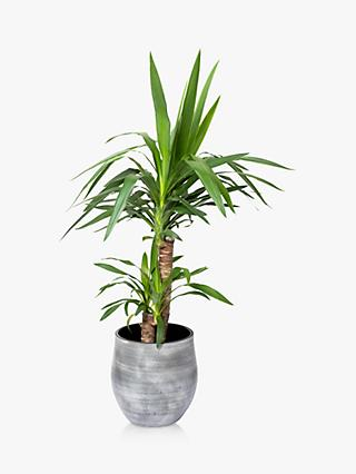 The Little Botanical Large Yucca Ceramic Pot Plant