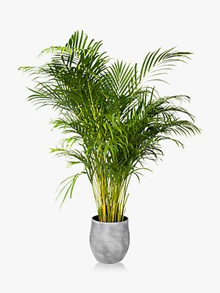 The Little Botanical XL Areca Palm Ceramic Pot Plant