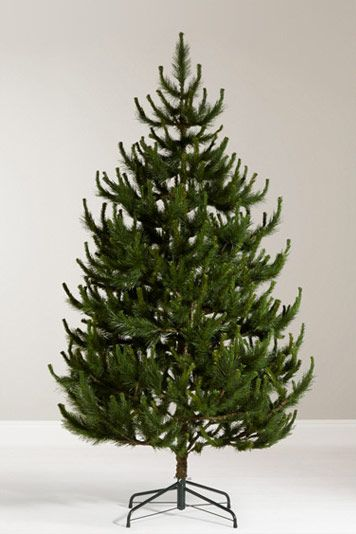 John Lewis Chamonix 7.5ft Scots Pine Christmas Tree